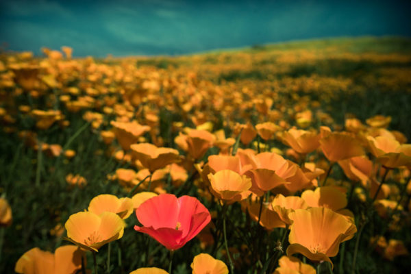 wildflowers-pink1-sm